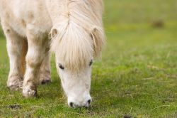 shetland-pony-164902_640-b0fe73fb-1