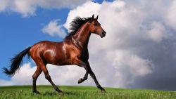 arabian-horse-1600x900-61a6b3e5