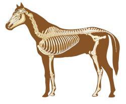 horse-skeleton-jpg-c81bece1