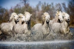 white-camargue-horses-of-southern-france-600x400-eb0dc80e