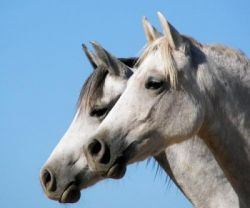 arabian_horse-2ab7ed72
