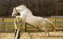 cavalli-spagnoli_ng1-57fc971c