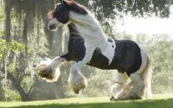 shire-horse-db2351f0