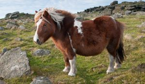 dartmoor-pony-content