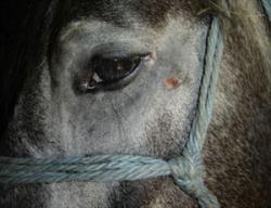 cavallo-triste-preview