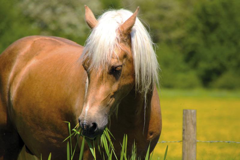 Stabilire la giusta razione giornaliera sef italia - Avere un cavallo ...